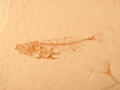 Fossil stickleback fish - journal.pbio.1001466.g003.png