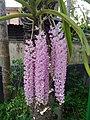 Foxtail Orchid Assam.jpg