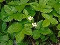 Fragaria vesca.002 - Campaño.jpg