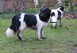 Stabyhoun Dog breed