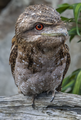 Frogmouth at rest NQld-2 (11407280314).png