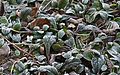 Frosted Leaves (4329941643).jpg
