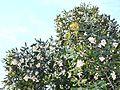 Fruits and foliage of Curtisia dentata - Cape town.jpg