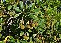 Fruits d'arbocer davant del cementeri de Canor, Benissa.jpg