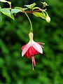 Fuchsia 'Minie Wildspieker'.JPG