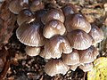 Fungi in the woods at Woodhall Spa - geograph.org.uk - 469659.jpg