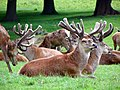 GOC Woburn 064 Red Deer (Cervus elaphus), Woburn Deer Park (22576075093).jpg