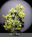 Galium ×pomeranicum sl18.jpg