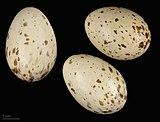 Gallirallus philippensis MHNT.ZOO.2010.11.69.7.jpg