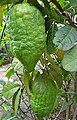GanapathiNArakam (Citron) - Citrus medica cv. Diamante.JPG