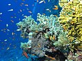 Garden scene, Daedalus Reef, Red Sea, Egypt.jpeg