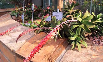 """Gasteria - Gasteria rawlinsonii 'Staircase' (a cultivar) showing the distinctive pendulous, """"stomach-shaped"""" Gasteria flowers"""