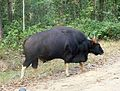 Gaur. or Indian Bison. Bos guarus - Flickr - gailhampshire.jpg