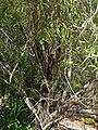 Geijera parviflora 2.jpg