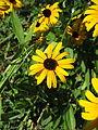 Gelber Sonnenhut-Echinacea-1.JPG