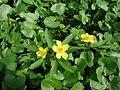 Gelbes Windröschen.jpg