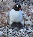 Gentoo Penguin with chicks at Jougla Point, Antarctica (6063136369).jpg