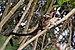 Geoffroy's tamarin (Saguinus geoffroyi).jpg