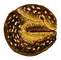 Geomalacus maculosus 3.jpg