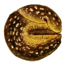 A brown and yellow spotted slug curled up into a tight ball so that its head is withdrawn completely, its mantle edge and tail are nearly touching, and none of its foot surface is exposed