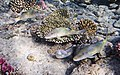 Geometric moray, Gymnothorax griseus, Перечная мурена..DSCF6009WI.jpg
