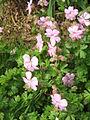 Geranium dalmaticum03.jpg