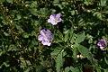 Geranium maculatum 5zz.jpg