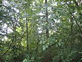 Geschwister-Scholl-Weg Ruhland, beim Kreuz im Heldenhain, Pimpernuss 01.jpg