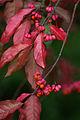 Gewöhnlicher Spindelstrauch Herbstfärbung.jpg