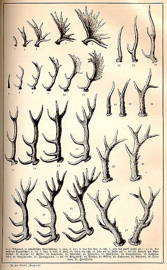 Antler - Increasing size of antlers year on year in different European game species, 1891 illustration