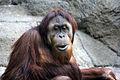 Gfp-orangutan.jpg