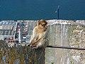 Gibraltar Barbary Macaque 3.jpg