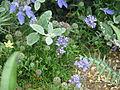 Gilia capitata chamissonis (9215494194).jpg
