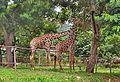 Giraffa camelopardalis at IG Zoo Park.jpg