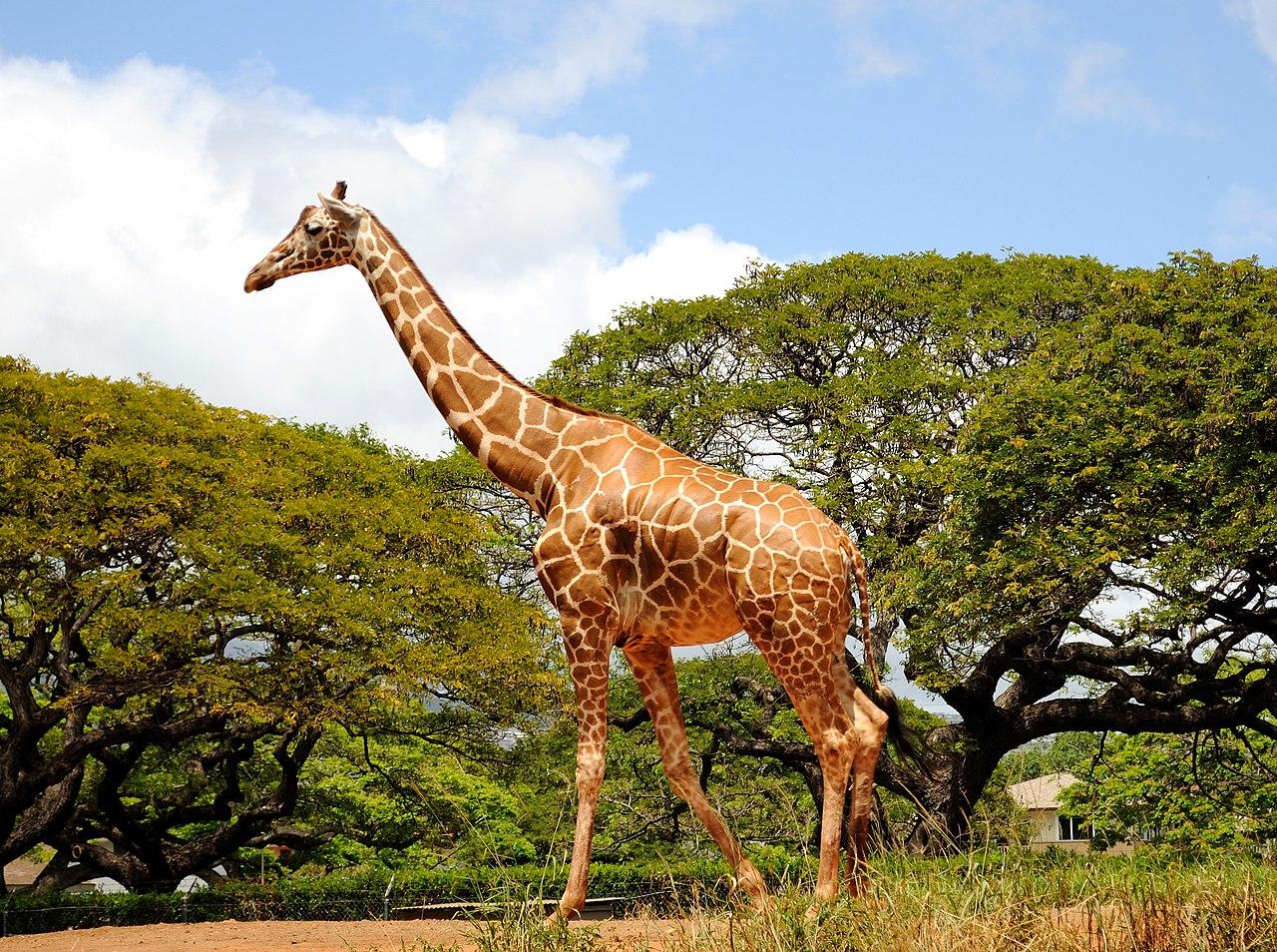 file giraffe 4565230826 jpg wikimedia commons