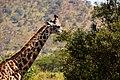 Giraffe, Tarangire National Park (20) (28434524200).jpg