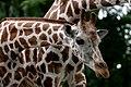 Giraffe (4258093785).jpg