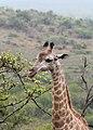 Giraffe in Zulu Nyala Reserve 03.jpg