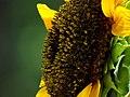 Girasol (Helianthus annuus) - Flickr - Alejandro Bayer (15).jpg