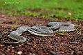 Glossy Marsh Snake.jpg