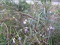 Glycine clandestina plant2 (10753632686).jpg