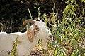 Goat Grazing (37759871142).jpg