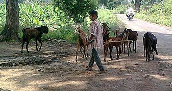 Goats Chinawal 02.jpg