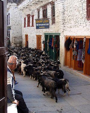 Marpha - Goats in Marpha