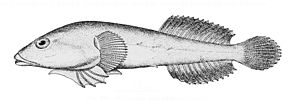 "Gobiesox maeandricus  (Zeichnung aus ""Bulletin of the United States Fish Commission"")"
