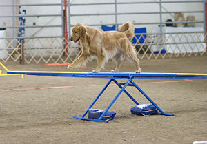 Many dogs can be trained to skillfully perform tasks not natural to canines, such as in this dog agility competition.