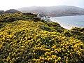 Gorse flowering on the Falklands Islands (15649053827).jpg