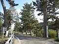 Goyu Pine Tree-Lined Street - Avenue1.jpg