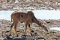 Gran kudú (Tragelaphus strepsiceros) con picabueyes piquirojos (Buphagus erythrorhynchus), parque nacional de Chobe, Botsuana, 2018-07-28, DD 36.jpg