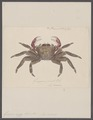 Grapsus rudes - - Print - Iconographia Zoologica - Special Collections University of Amsterdam - UBAINV0274 094 04 0010.tif